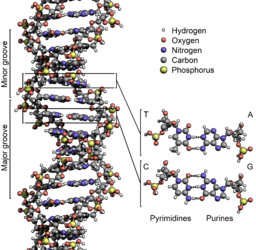 wp-content/uploads/2014/10/256px-DNA_Structure-Key-Labelled.pn_NoBB.png